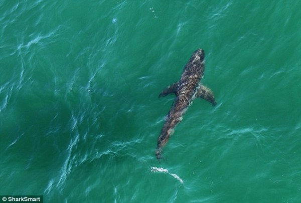 Great white shark spotted off NSW Lighthouse Beach in ...