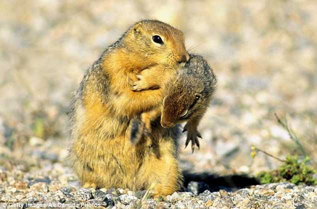 All work and no play: Activity logs revealed that despite taking care of the pups and spending less time above ground, female ground squirrels had a work rate which put the males to shame (stock image)