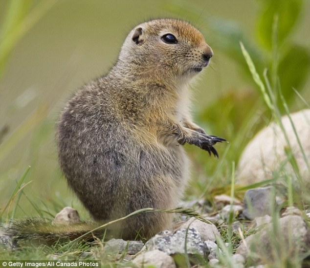 Taking a breather: Researchers have revealed that while female ground squirrels busy themselves with rearing young and gathering food, males may prefer to take a backseat