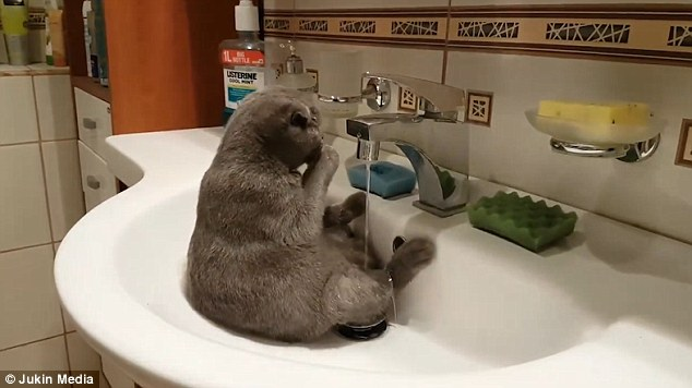 The brown cat starts by pawing water onto his fur during the pampering session in the bathroom sink