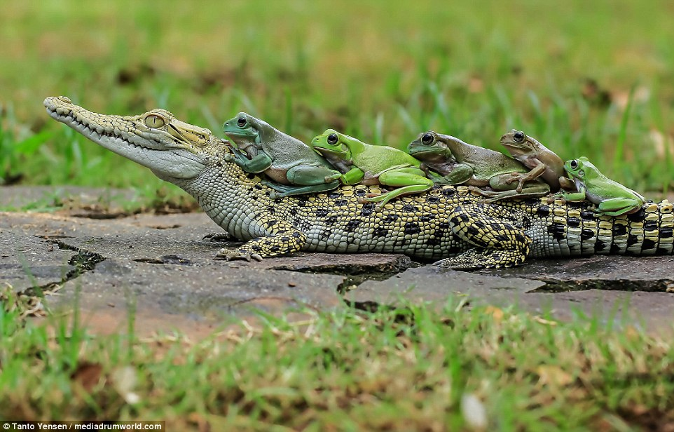 These brave frogs showed no fear when they hopped onto a caiman's back so they could do the conga