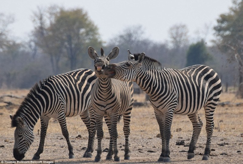 Fifteen-year-old Thomas Bullivant from London won the Juniors category with this image of three zebras appearing to smile for the camera. South Luangwa National Park, Zambia, August 2016