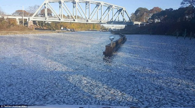 'Fishpolcalypse':A massive fish kill carpeted the Shinnecock Canal, both north and south of the gates, on Monday morning