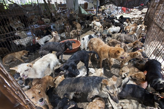 2. The harrowing rescue mission: A cage is packed with dogs being prepared for the slaughterhouse at the Yulin Dog Festival. Ching recruited UK volunteers to save them, saying some would be re-homed in the West