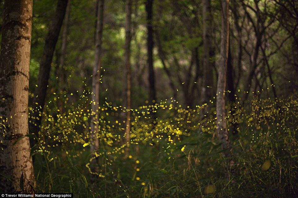 Okayama Prefecture, Japan:  Fireflies form blinking rivers of light in a still woodland