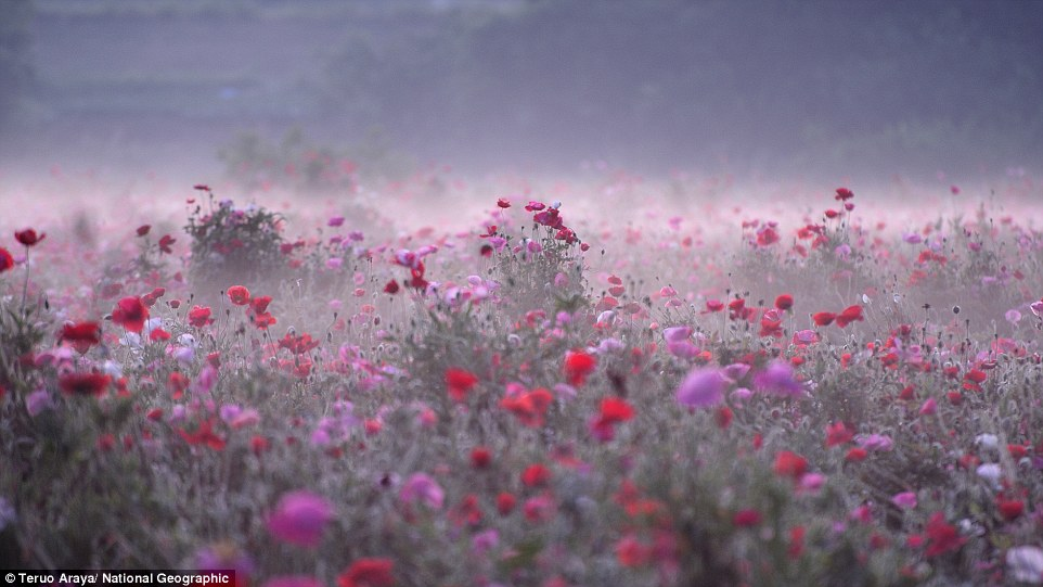 Shimotsuma, Japan:  Morning fog settles over a field of wildflowers