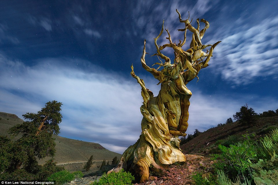Inyo National Forest, California:  Weathered twisting branches of an ancient bristlecone pine seem to dance
