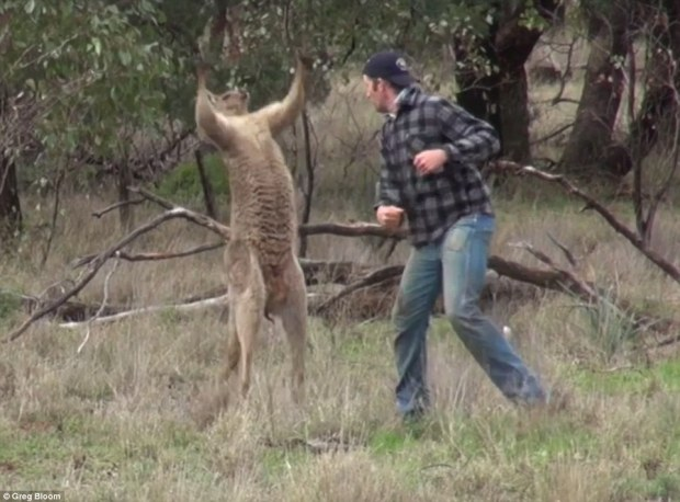 After landing the punch on its face the stunned kangaroo threw its arms into the air and stood shocked for a few seconds