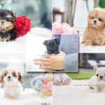 Instagram Account Shows Off Tiny 8000 Teacup Puppies Daily Mail Online