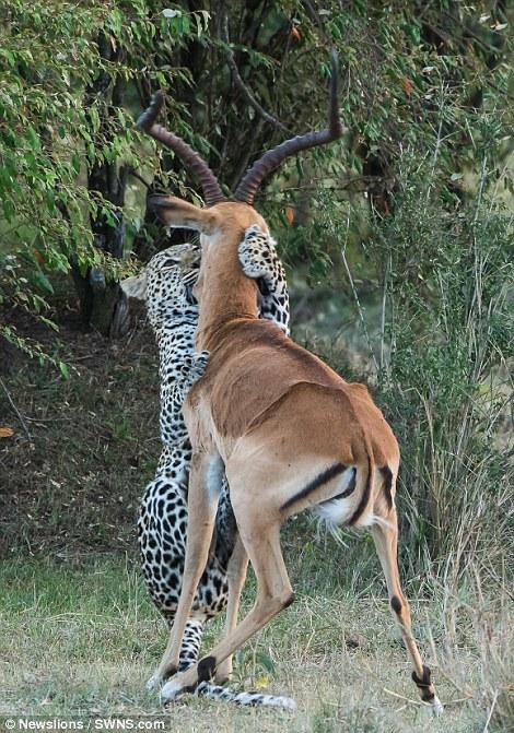 Leopard Wraps Paws Around Impala And Kills In Kenya