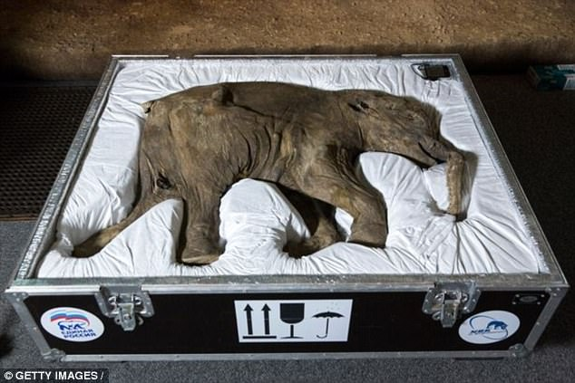 Lyuba, the world's most well-preserved mammoth, went on display at the Natural History museum in 2014