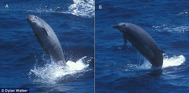 True's beaked whales sometimes breach and this gives observers a better opportunity to identify the species. Here, the two little white dots in the front of the beak show that this animal is a male True's beaked whale (stock footage)