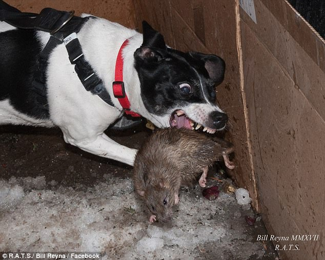 Ryders Alley Trencherfed Society (RATS) is an urban dog hunting club that kills rats for sport