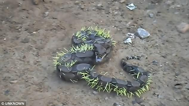 A video captures the boa constrictor squirming as dozens of white quills protrude from its skin