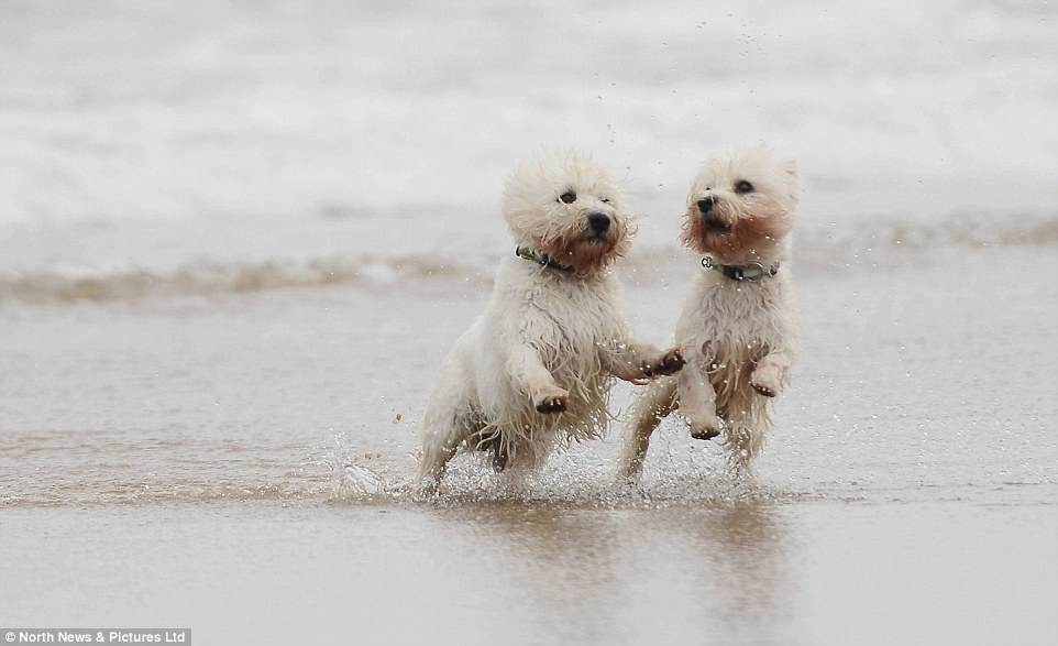 A pair of West Highland terriers are pictured shaking off the sea water at Tynemouth as families had fun despite grey skies