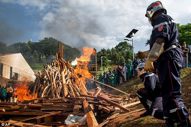 Conservationists in South Africa have blamed 'pervasive poaching' for the dramatic reduction in numbers across 73 designated areas spanning 21 African countries (file picture shows ivory being torched by officials in Cameroon)