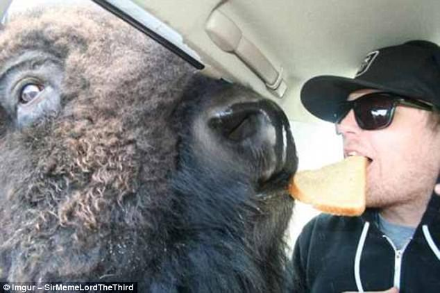 Sharing is caring: Just a man in a car, breaking bread with a bison. Nothing more to see here