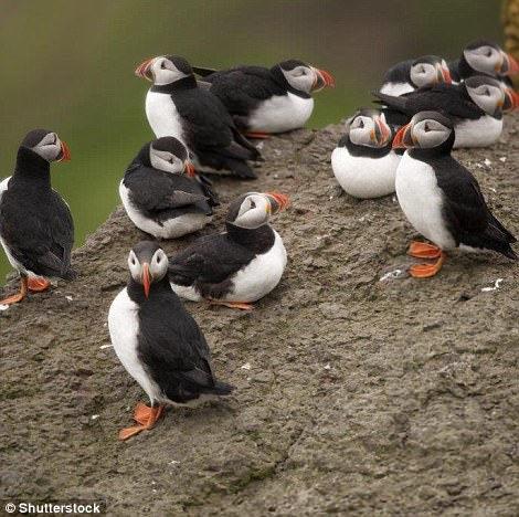 Atlantic puffins breed on the Faroe Islands in large numbers, most notably on the island of Mykines