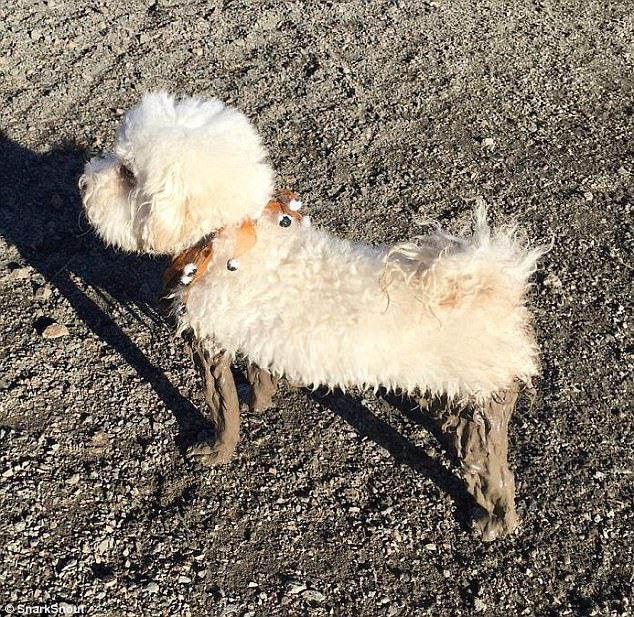 From the waist up: A little dog managed to keep their body clean at least