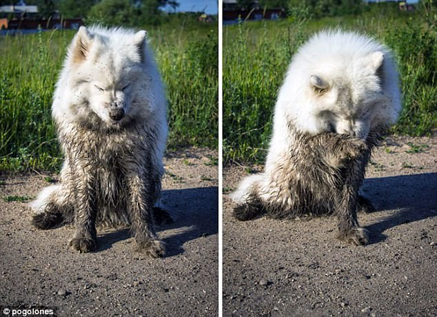 Feeling ashamed: A dog attempts to clean itself after getting mucky on a walk