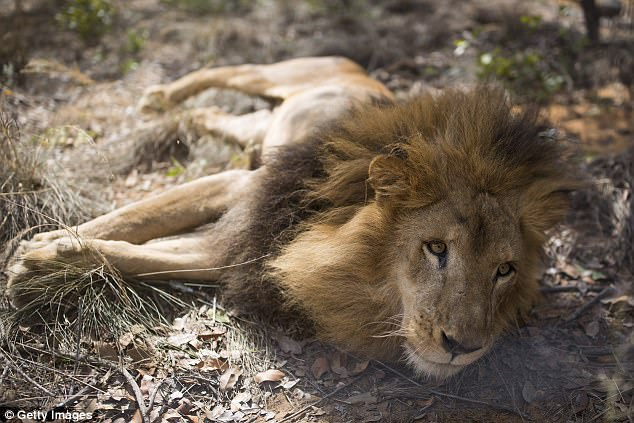 José and Liso were among 33 lions rescued from South America last year and put in a wildlife sanctuary in South Africa. Above, one of the lions at the Vaalwater reserve, which is in Limpopo Province