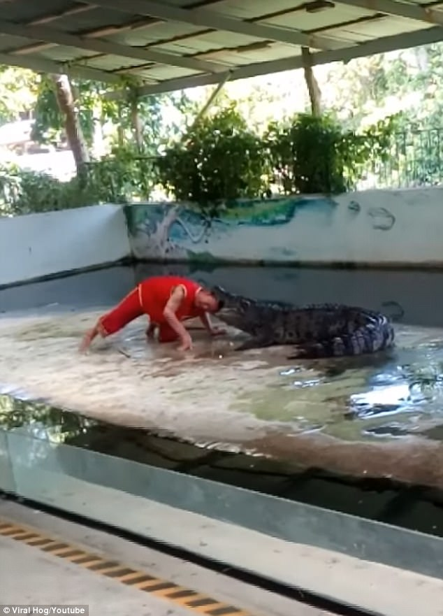 The man places his head inside the crocodile before it suddenly snaps down on his head and violently thrashes him around
