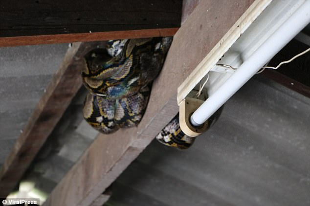 The 14-foot python was spotted by a 10-year-old girl in a house in Chachoengsao in Thailand