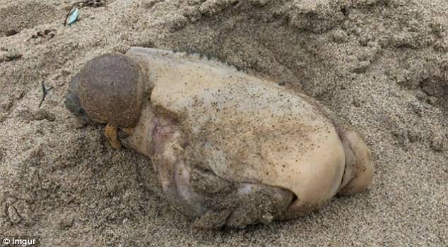 A mysterious sea creature (pictured) has baffled internet users after it washed up on a Californian beach. The slimy monster had no discernible features such as eyes or a mouth, and sported two huge lumps sticking out of one end of its body