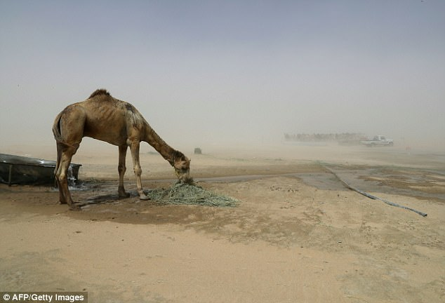 Camel farmers are just the latest victim of the Qatari diplomatic crisis after Saudi Arabia suddenly cut all ties with the Gulf nation last month