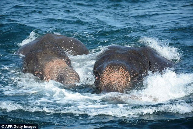 Image result for Trunks not made for swimming: Elephants rescued from Sri Lankan sea