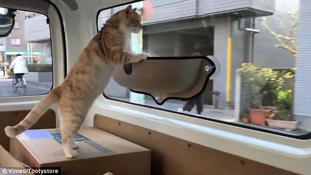 the cat uses its bed hammock as balance and looks out at the view outside tooty store u0027s cat hammock online video goes viral   good animals  rh   good animals