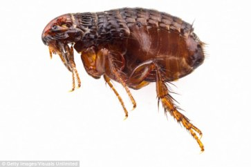 Navajo County Public Health officials confirmed on Friday that fleas in the region tested positive for the Bubonic plague. It follows similar reports from Coconino County Public Health Services District in Arizona
