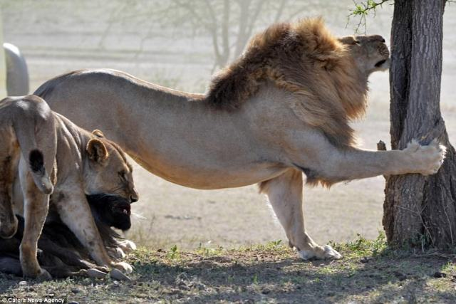 In for the kill: The lioness maintains her deadly grip on the wildebeest, now on the floor, and a male lion stretches out to grip a tree trunk