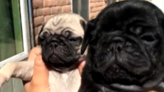 Adorable Video Shows The Pug Version Of The Solar Eclipse Daily Mail Online