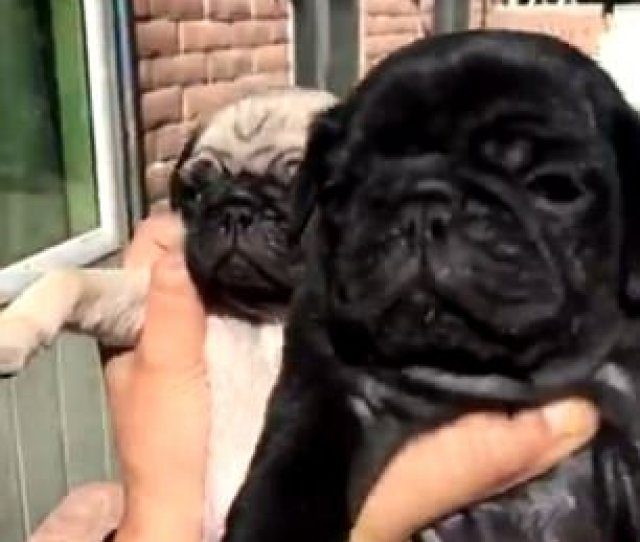 Covering Up The Video Sees A Tiny Tan Pug Being Eclipsed By A