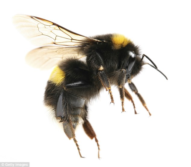 Scientists are buzzing after developing tiny cameras that are so small they can be placed on bees
