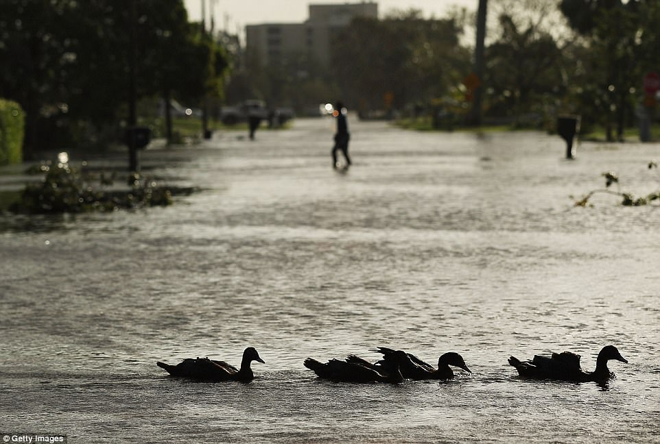 Ducks swim through a street the morning after Hurricane Irma swept through the area on September 11, 2017 in Naples, Florida. Hurricane Irma made another landfall near Naples yesterday after inundating the Florida Keys