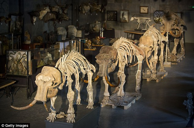 A family of four mammoth skeletons (pictured), including a rare infant, are expected to fetch up to £400,000 ($530,000) at auction