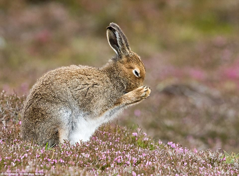 Pit stop: A mountain hare stops for a quick wash on a heather-coated hill in Glenshee. The shot was taken by Stephanie Wilkie, from Dundee