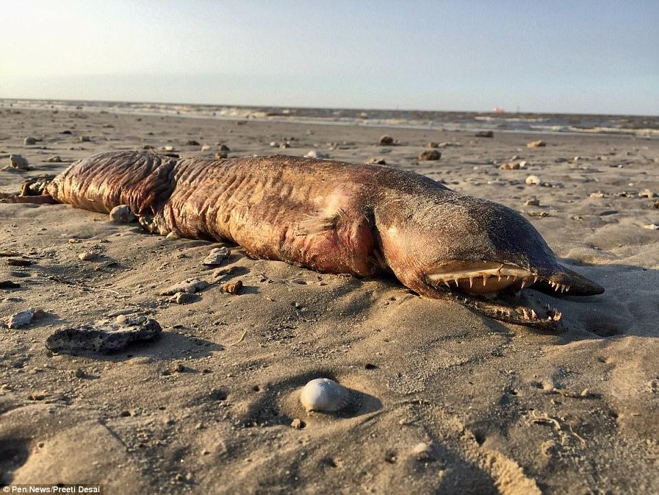 Preeti Desai of the National Audobon Society found a mysterious dead sea creature on a Texas City beach after Hurricane Harvey </noscript data-recalc-dims=