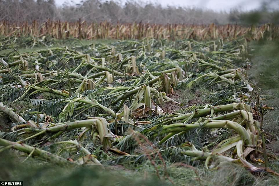 A damaged banana plantation is pictured after the area was hit by Hurricane Maria en Guayama, Puerto Rico on Wednesday