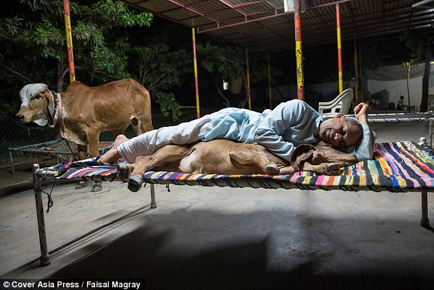 Vijay Parsana and Saraswati, a calf, pictured sleeping on a cot, at his home in India