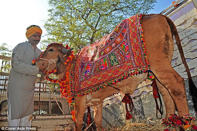 In March, last year, Vijay married his cow Poonam and bull Arjun in a lavish function with over 5,000 guests costing him Rs 1,800,000 (£20,000)