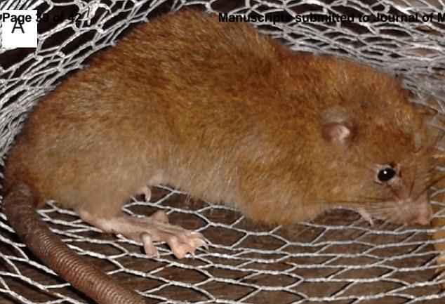 Discovered Rat Largest World