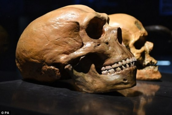 Earlier studies suggested human genes involved in skin and hair biology were strongly influenced by Neanderthal DNA, but it hadn't been clear how until now. Pictured are Neanderthal (front) and human (back) skulls