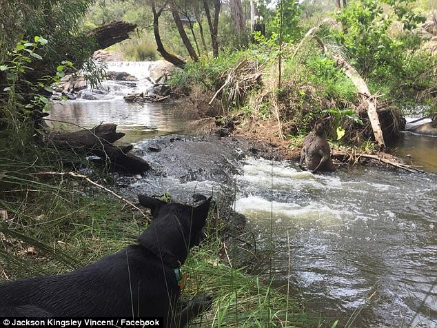 Some speculated the photographer's pet dog had chased the creature into the river - the kangaroo retreating in the water to protect itself