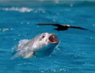 Giant Trevally The Bird Eating Tropical Fish