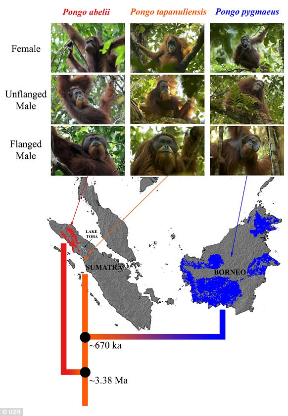 The first signs of the uniqueness of the new species came from the skeletal material of an adult male orangutan killed in 2013.