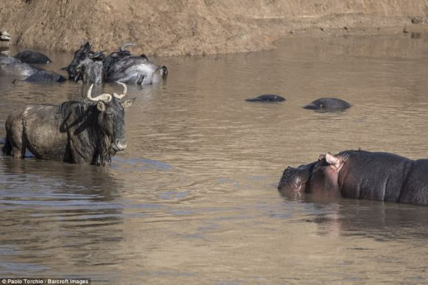 Too late: Within seconds, it came face to face with a huge, and less than pleased, bull hippo