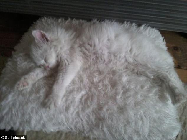 This chilled out kitty practically disappears in this fluffy white pillow, even his fur is the same